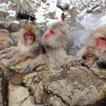 お猿さんの温泉天国。獄谷野猿公苑パノラマビュー